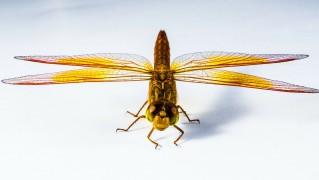 トンボ 昆虫 ドラゴンフライ クローズ