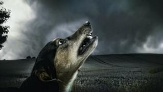 犬 暗い 遠ぼえ 月光 動物 毛皮