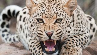 Angry-Cheetah