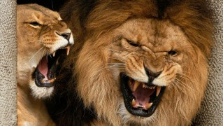 Angry-Lion-and-Lioness