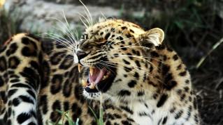Angry-Roaring-Cheetah