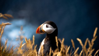Atlantic-Puffin-Head-Portrait