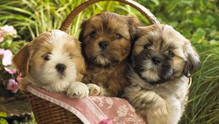 Basket-with-Cute-Puppies
