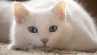 Beautiful-White-Cat-Posing
