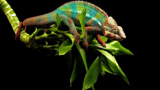 Chameleon-on-Branch-with-Green-Leaves