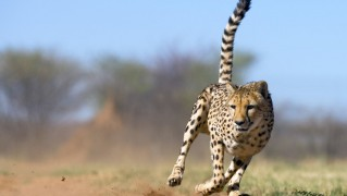 Cheetah-Fast-Run