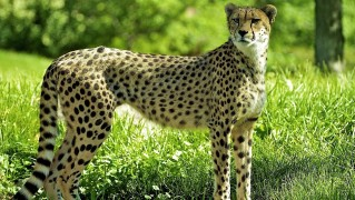 Cheetah-Posing