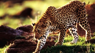 Cheetah-Walking-in-the-Safari