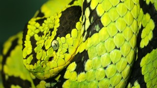 Closeup-Face-of-Green-and-Black-Snake