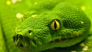Closeup-of-Green-Boa-Snake-Face