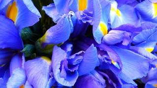iris-5254_1280