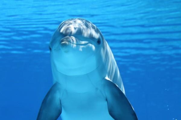 イルカ 海洋哺乳類 水 海 哺乳類 水中 ダイビング 魚 波 オーシャン 日当たりの良い