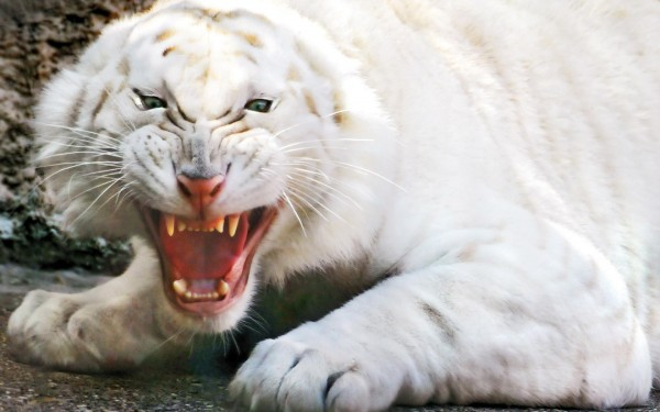 Angry-White-Tiger