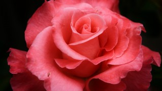 Beautiful-Rose
