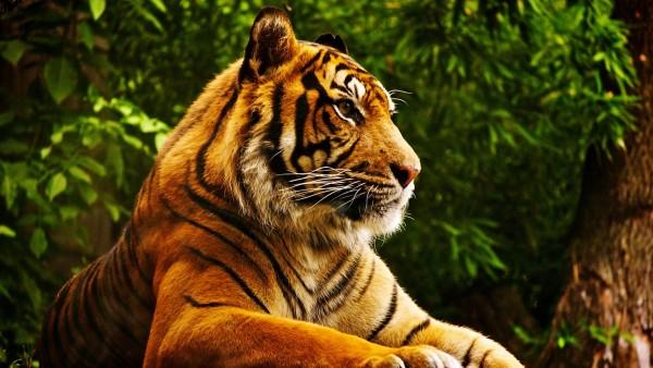 Beautiful-Tiger-Posing