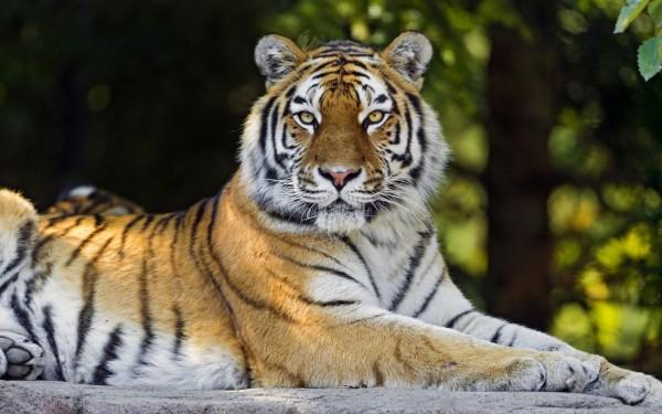 Bengali-Tiger-Posing
