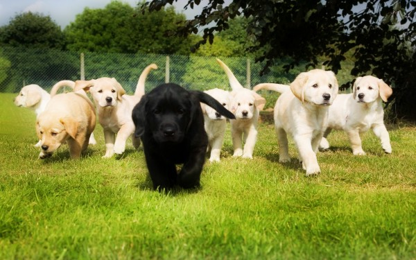 Black-and-White-Labrador-Retriever-Dogs-Puppies