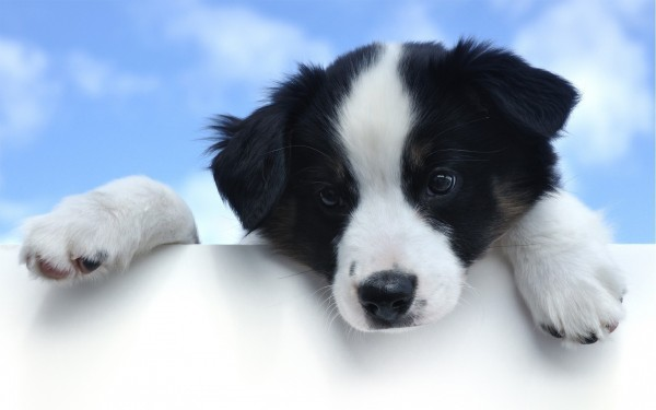 Black-and-White-Puppy-Looking-Down