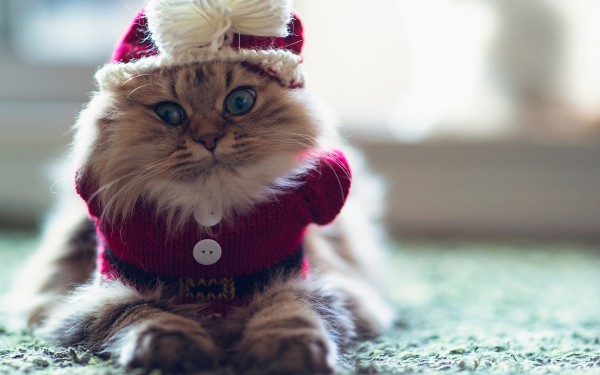 Cat-with-Winter-Clothes