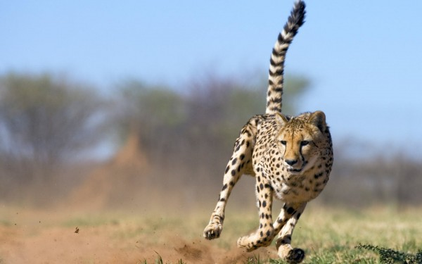 Cheetah-Fast-Run
