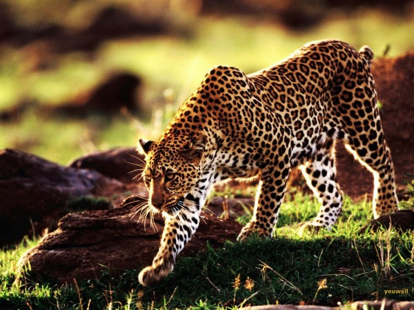 Cheetah-Walking-in-the-Safari