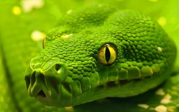 Closeup-of-Green-Boa-Snake-Face