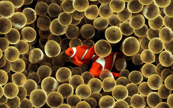 Clown-Fish-and-Eggs