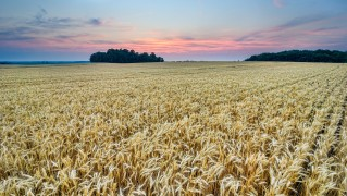 Dry-Wheat-Field