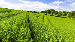 Green-Tea-Fields