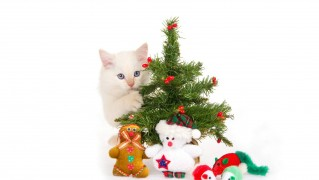 White-Cat-with-Christmas-Gifts
