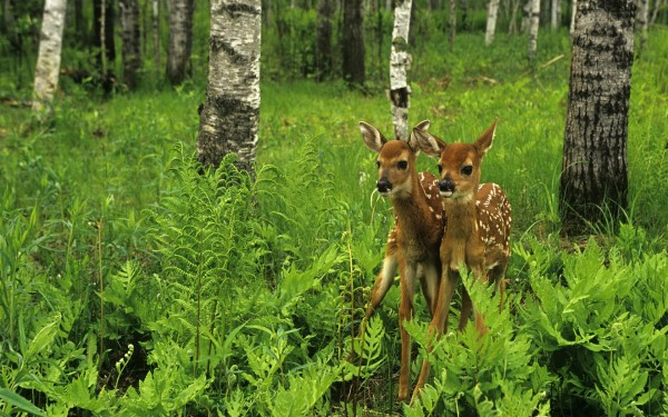 Whitetail-Fawns-in-the-Forest