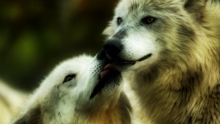 Wolves-Kissing