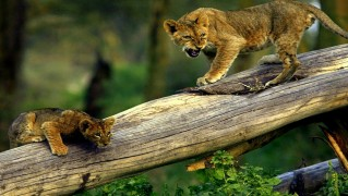 Young-Lion-Cubs-on-Tree