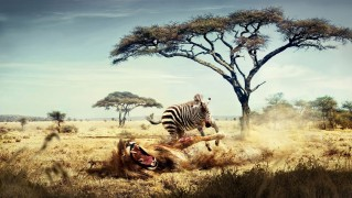 Zebra-Hunting-Lion-in-the-Safari