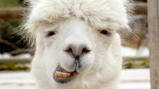 alpaca-chewing