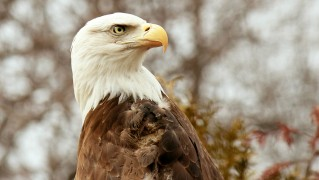 bald-eagle-looking-backwards