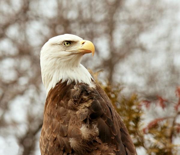 bald-eagle-looking-backwards