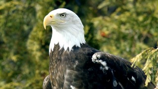 bald-eagle-with-injured-wing