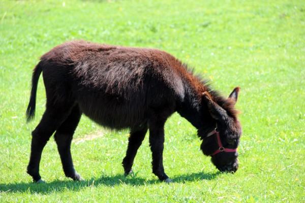 brown-donkey