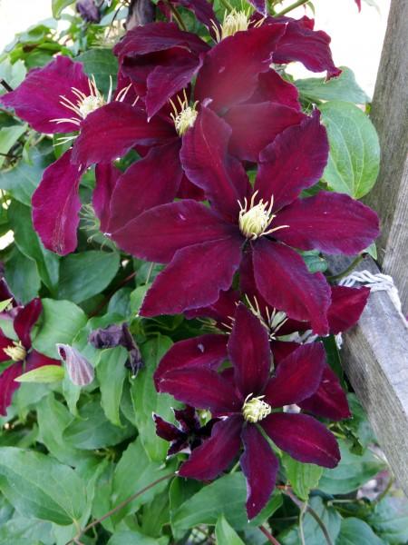 burgundy-clematis