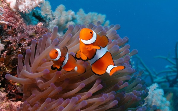 clown_anemonefish_underwater-wide