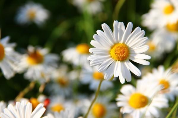 daisies-276112_1280
