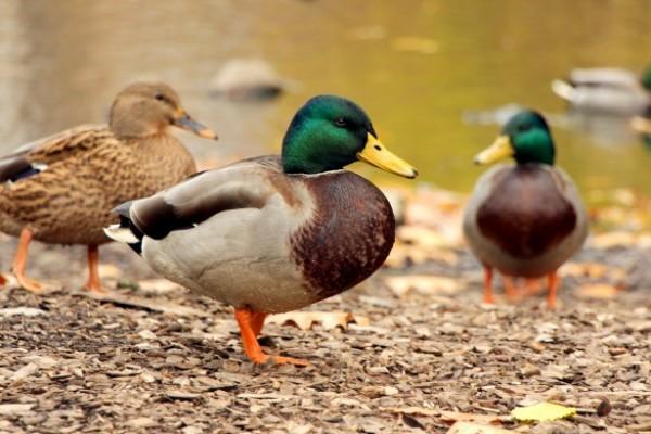 ducks-at-lakeside