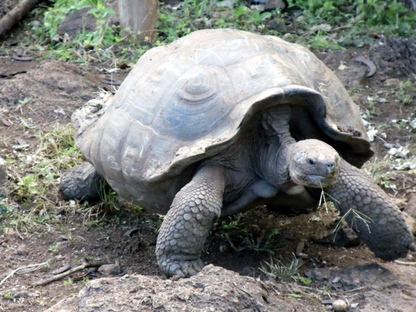 giant-galapagos-turtle
