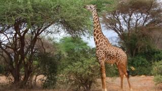 giraffe-331284648985vnhz