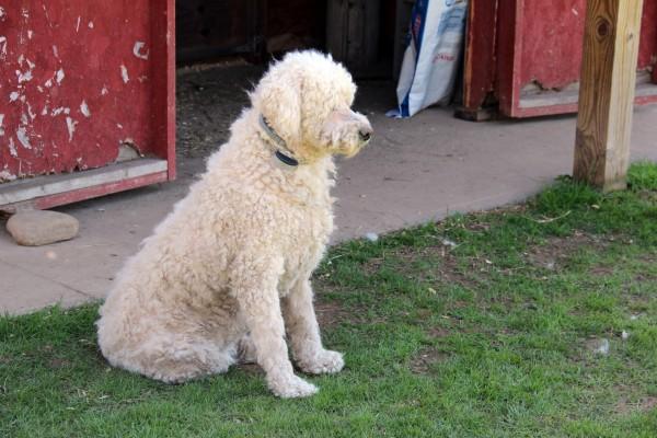 komondor-guard-dog
