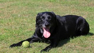 labrador-dog-1362609655W6O
