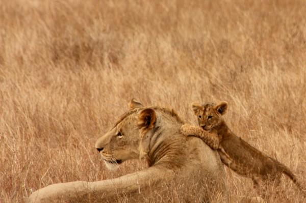 lions-3312845582786Em8