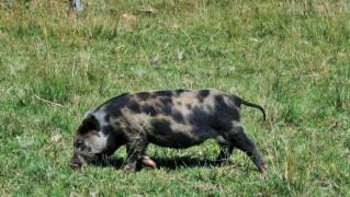 piebald-pig