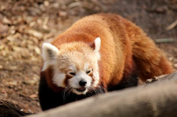 red-panda-1